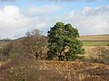 Scots pines - geograph.org.uk - 683004.jpg