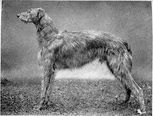 Scottish Deerhound - Scottish Deerhound circa 1910