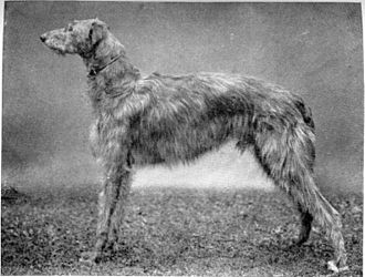 Scottish Deerhound - Scottish Deerhound circa 1910