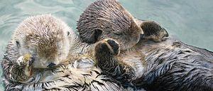 Marine biology - Sea otters