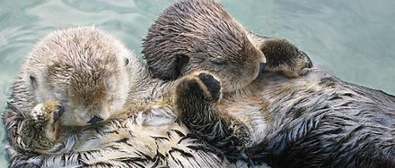 Sea otters Sea otters holding hands, cropped.jpg