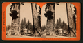 Section of the Big Tree, 30 feet in diameter, and House over the Stump, from the Sentinels, by Lawrence & Houseworth 6.png