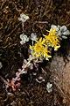 Sedum spathulifolium 4914.JPG