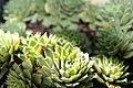 Sempervivum Rhodes Variety 0zz.jpg