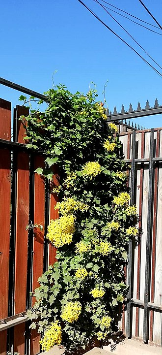 Sometimes climbing plants are used to cover unsightly fences, also for the aesthetic purpose (Senecio tamoides). Senecio tamoides 11.jpg