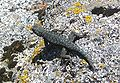 Sequoia National Park - Lizard near Hanging Rock.JPG