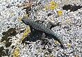 Sequoia National Park - Lizard near Hanging Rock.JPG