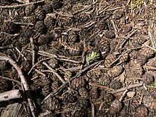 Charming Giant Sequoia (Sequoiadendron Giganteum) Cones And Foliage, Sugar Pine And  White Fir Foliage, And Other Plant Litter Cover The Floor Of Mariposa Grove  In ...