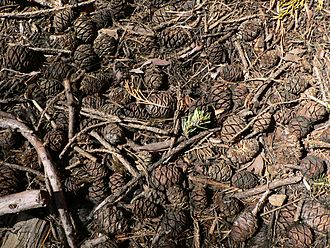 Detritus - Giant sequoia (Sequoiadendron giganteum) cones and foliage, sugar pine and white fir foliage, and other plant litter cover the floor of Mariposa Grove in Yosemite National Park.