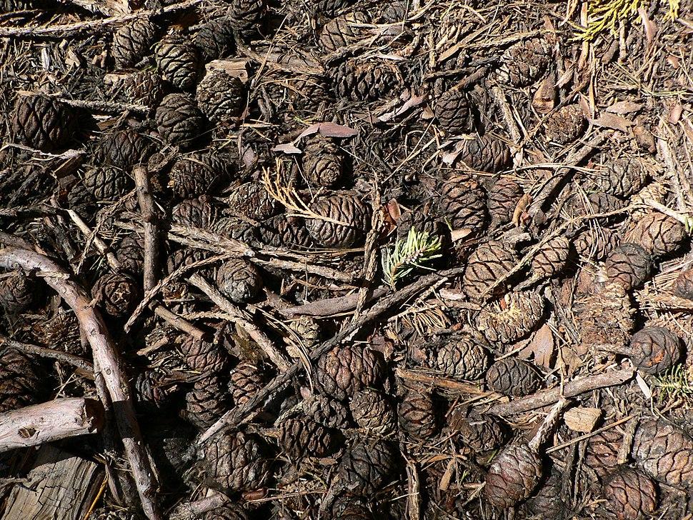 Sequoiadendron giganteum 08130