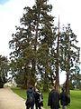 Sequoias géants (parc du Thabor, Rennes).JPG