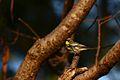 Setophaga auduboni (17041185141).jpg