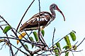 Shark Valley - bird Paradise W of Miami - White Ibis (Eudocimus albus), juvenile plumage - (26362027473).jpg