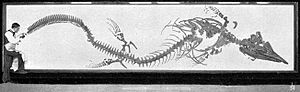 Tylosaurus - Complete T. proriger skeleton, from H.F. Osborn's 1899 description