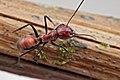 Shattuck 54662, Camponotus, Danum Valley, Sabah-web (5042987700) (2).jpg