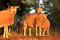 Sheep (4782439670).jpg