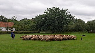Sheep herding in the Bokrijk open-air museum (DSCF4458).jpg