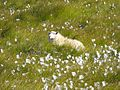 Sheep relaxing - Iceland - panoramio.jpg
