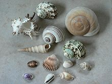 a group of purchased mostly marine shells includes the shell of a large tropical land snail upper right and a shiny freshwater apple snail shell
