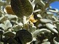 Shepherdia rotundifolia (8003262498).jpg
