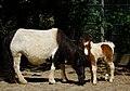 Shetlandpony-Fohlen mit seiner Mutter.JPG