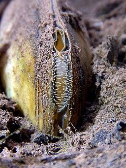 Siphon (mollusc) Unionidae Lamiot Lille 2347