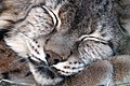 Sleep lynx.jpg