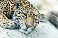 Sleepy Jaguar Face (13361047483).jpg