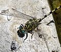 Small Pincertail. Onychogomphus forcipatus. Male - Flickr - gailhampshire (1).jpg