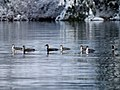 Small flock of Pacific Loon (6408295879).jpg