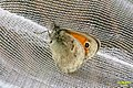 Small heath (NH) (8087003027).jpg