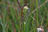 Small red damselflies (Ceriagrion tenellum) in tandem female typica.jpg
