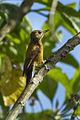Smoky-brown Woodpecker - Colombia S4E4935 (16409567012).jpg