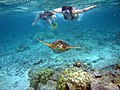 Snorkelers with sea turtle (Kahaluu Bay).jpg