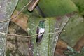 Snowy-bellied Hummingbird (Amazilia edward) (4504902113).jpg