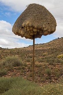 Sociable weaver wikipedia for Nid d oiseau sous toiture