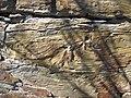 Soft-sediment deformation in sandstone (Vinton Member, Logan Formation, Lower Mississippian; Rt. 16 roadcut northeast of Frazeysburg, Ohio, USA) 1 (38882572630).jpg