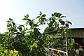 Solanum betaceum à São Tomé (1).jpg