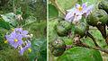 Solanum lanceolatum.jpg
