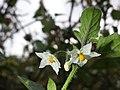 Solanum villosum subsp. alatum sl49.jpg