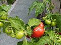Solanum viride P1020426.JPG