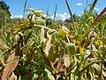 Solidago canadensis - Canada goldenrod - sprayed with herbicide - Flickr - Matt Lavin.jpg