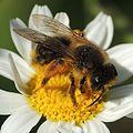 Solitary bee (Andrena?), Sandy, Bedfordshire (18468137116).jpg