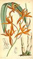 Sophronitis cinnabarina (as Laelia cinnabarina ) - Curtis' 73 (Ser. 3 no. 3) pl. 4302 (1847).jpg