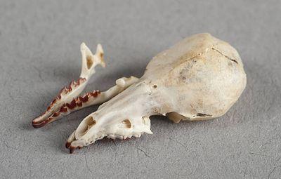 Ornate shrew - Wikiwand