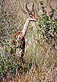 Southern Gerenuk (Litocranius walleri) (7667190868).jpg