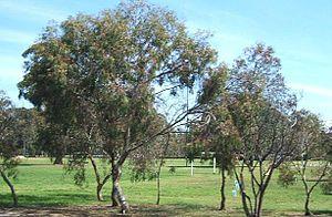 Adelaide Park Lands - Gum trees in Adelaide's South Park Lands