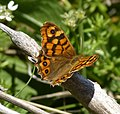 Spanish Speckled Wood 2 (7348939814).jpg