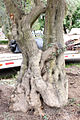 Specimen olive tree trunk by Big Olive Trees.jpg