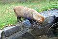 Speothos venaticus Zoo Praha 2011-4.jpg